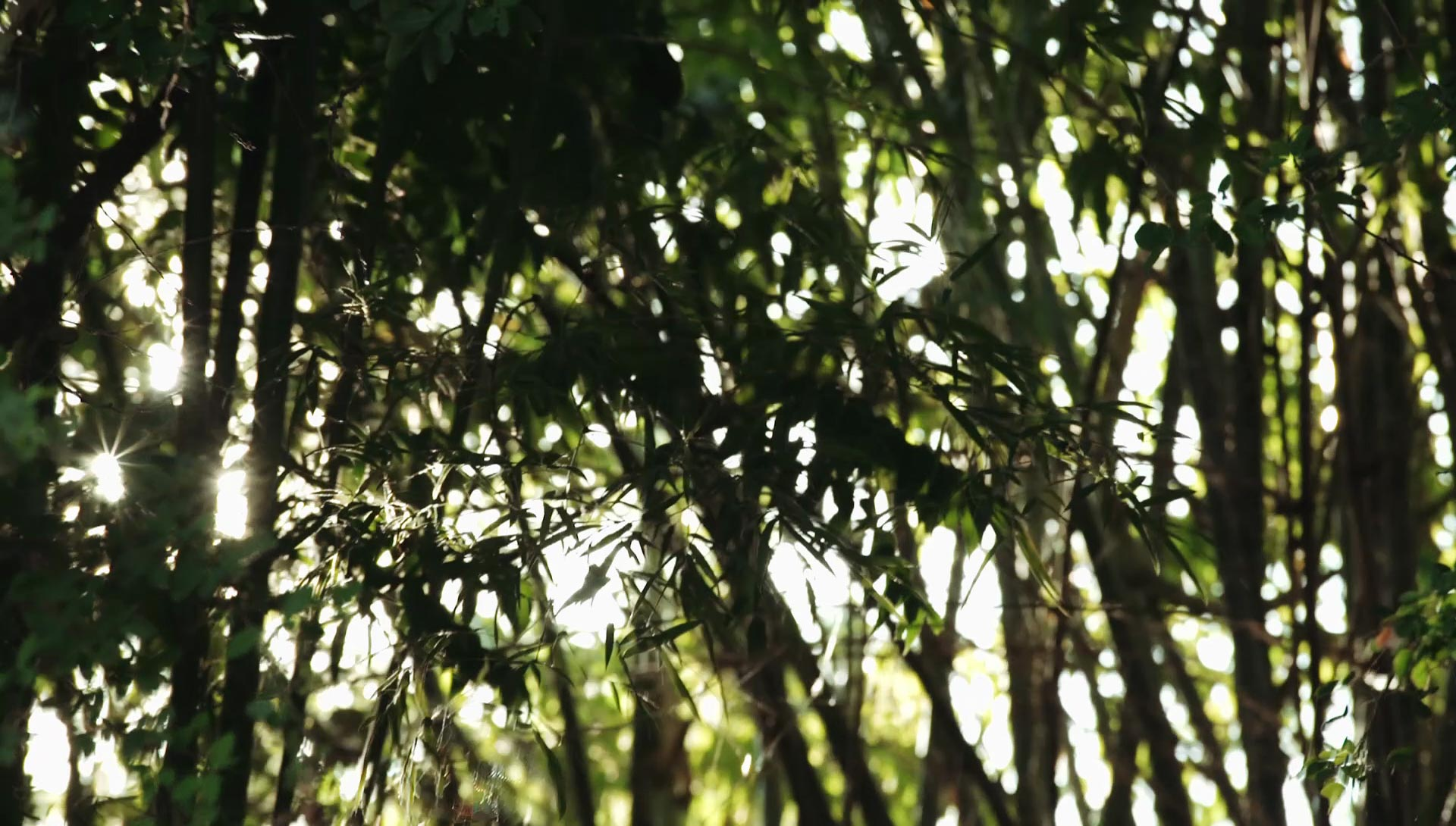Clumps of bamboo at Daruma ecovillage