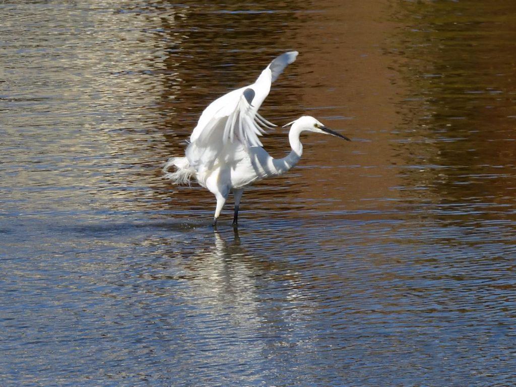 Lively Egret