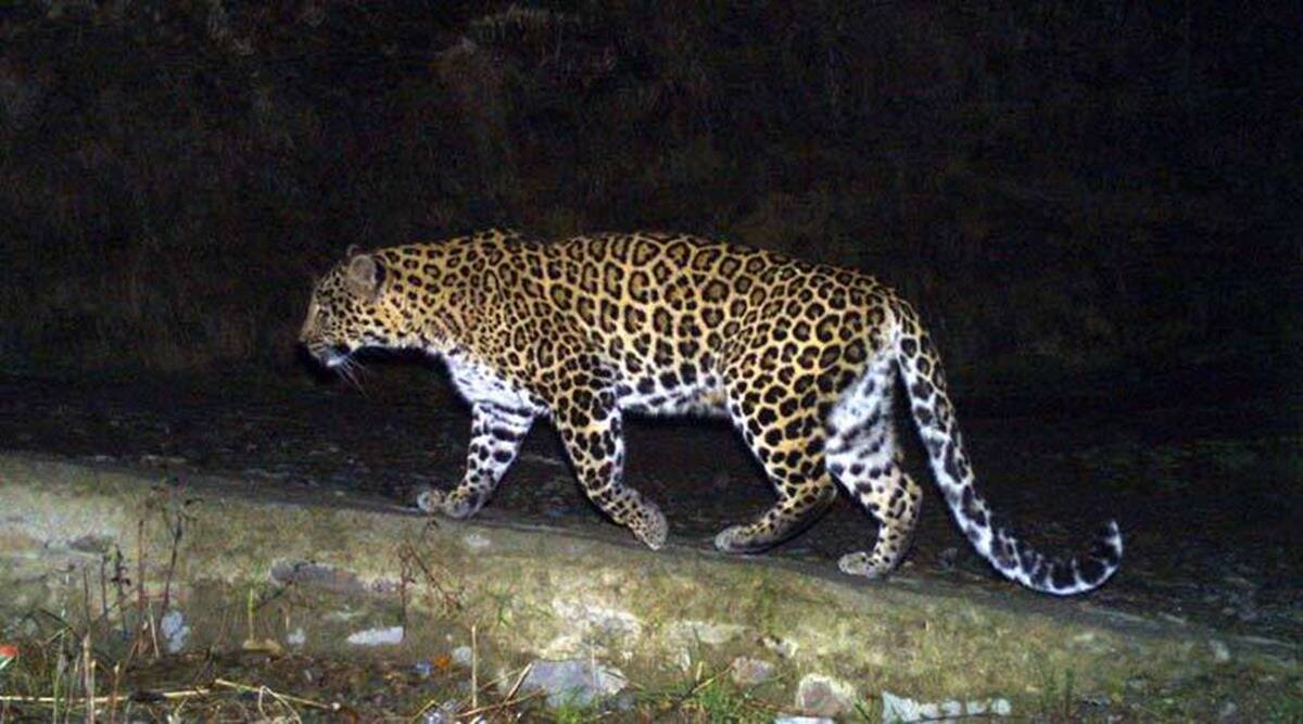 OneIndia24News : Forest dept issues order to capture or kill 'maneater leopard