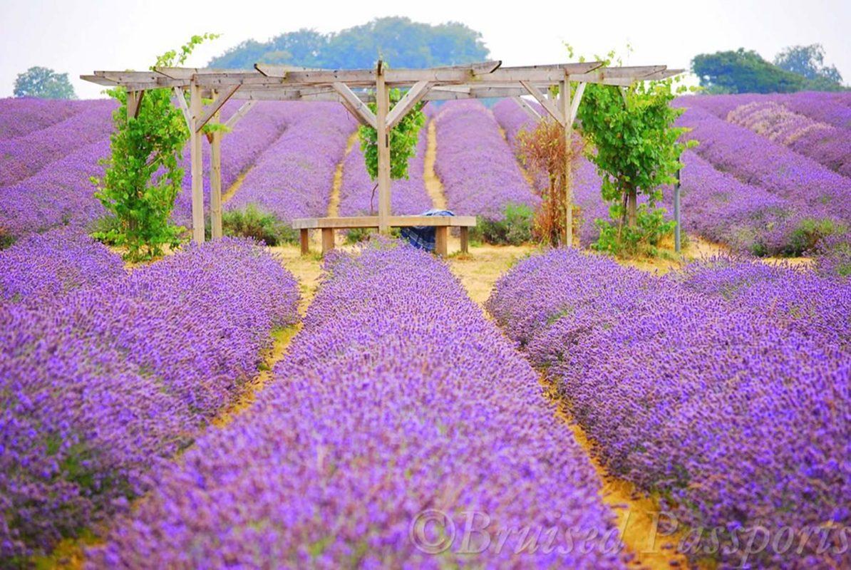 Mayfield Lavender Farm © Bruised passports