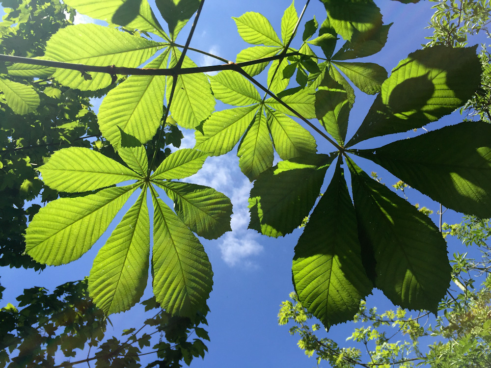 horse chestnut by fiona cullinan