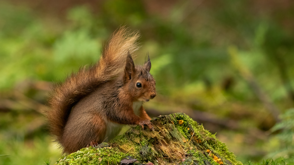 Red squirrel in Yorkshire Dales National Park