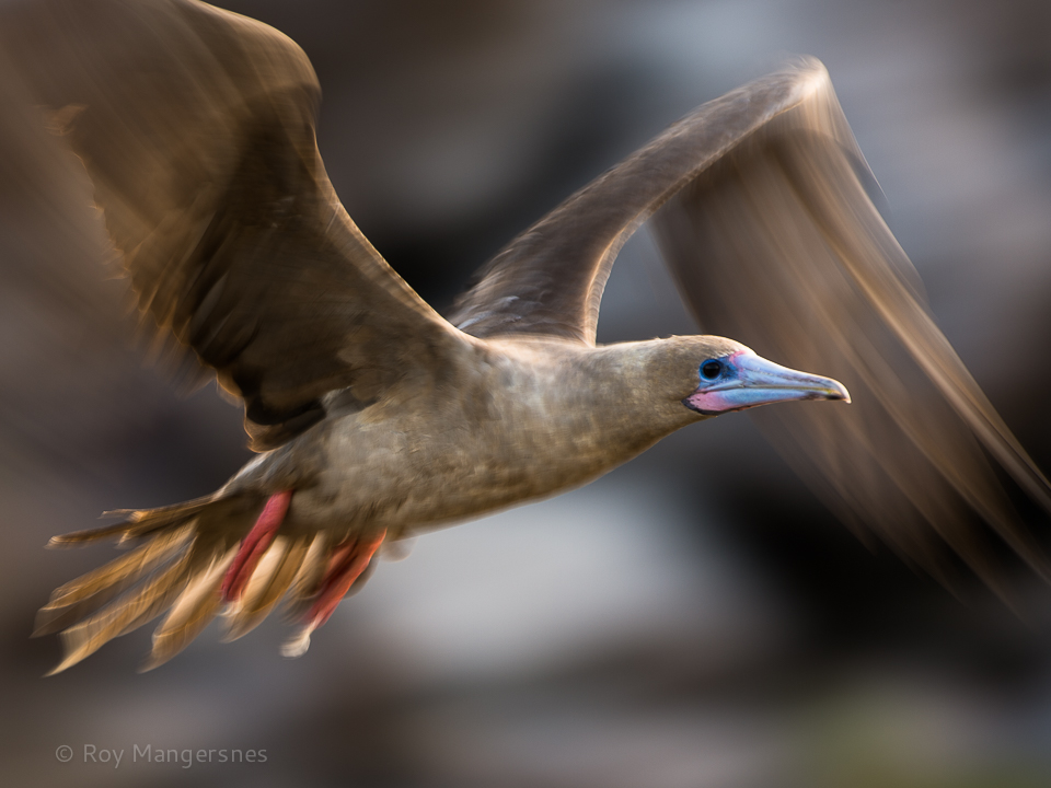 Red-footed Booby - D4, 400mm, 1/30 sec, f/6,3 @ ISO 50