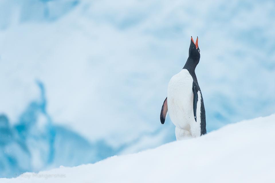 Gentoo penguin displaying - D4s, 70-200mm, 1/400 sec, f/5,6 @ ISO 1250