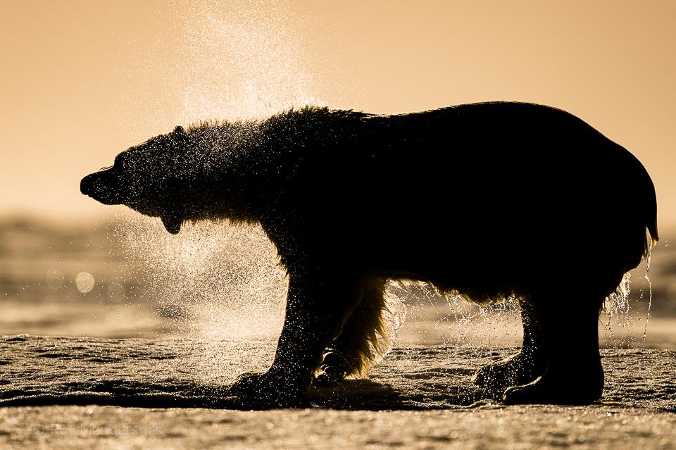 Backlight Polar bear shaking - D4, 800mm, 1/2500 sec, f/7,1 @ ISO 400