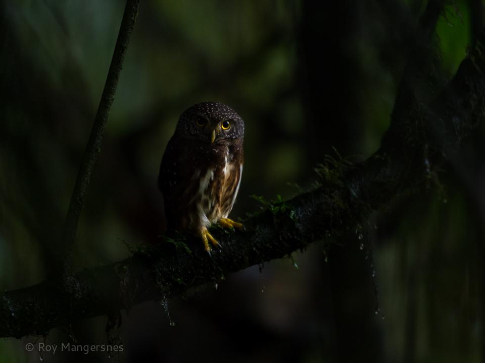 Cloud-forest Pygme-owl - D4, 70-200 + TC14, 1/125 sec, f/4 @ ISO 8000