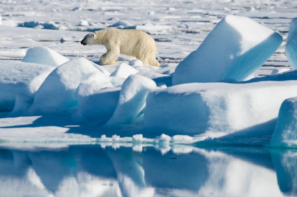 Polar bear circling the ship - D4, 800mm, 1/2000 sec, f/9 @ ISO 500