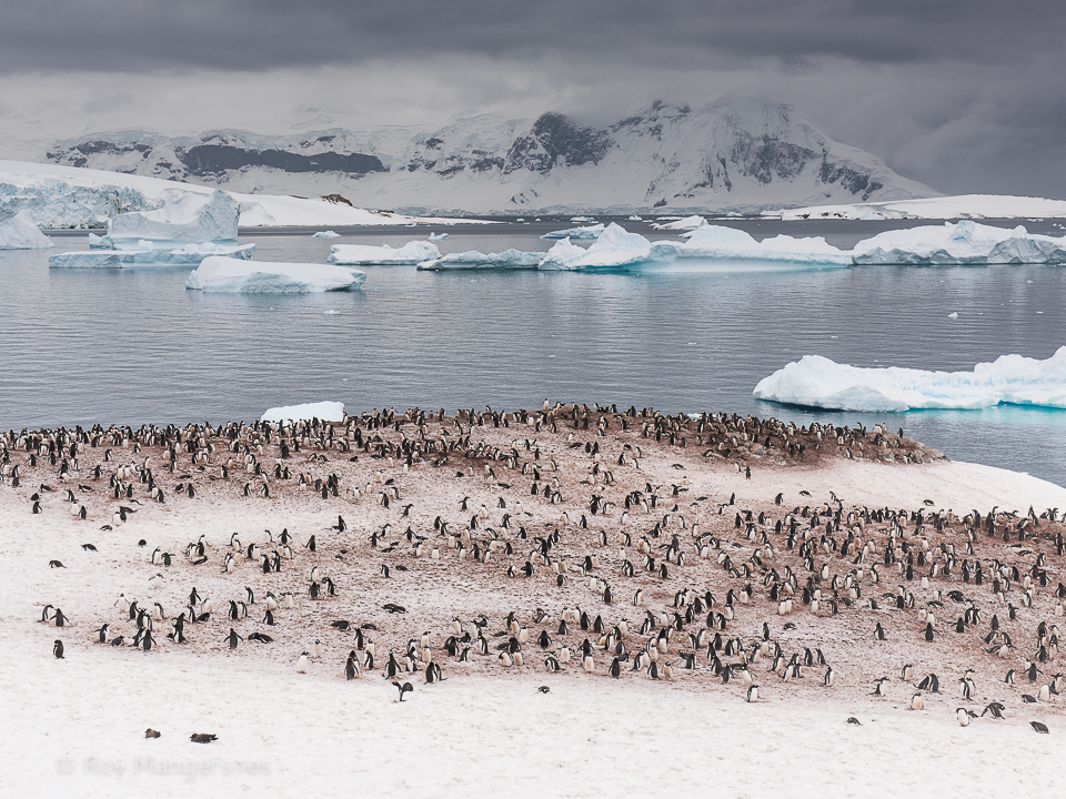 Cuverville holds one of the largest Gentoo rookeries in Antarctica - D810, 24-70mm, 1/400 sec, f/8 @ ISO 500