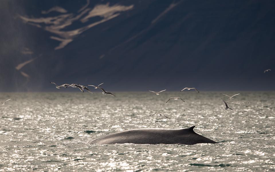 Blue whale in Woodfjorden - D4, 800mm, 1/3200 sec, f/7,1 @ ISO 500