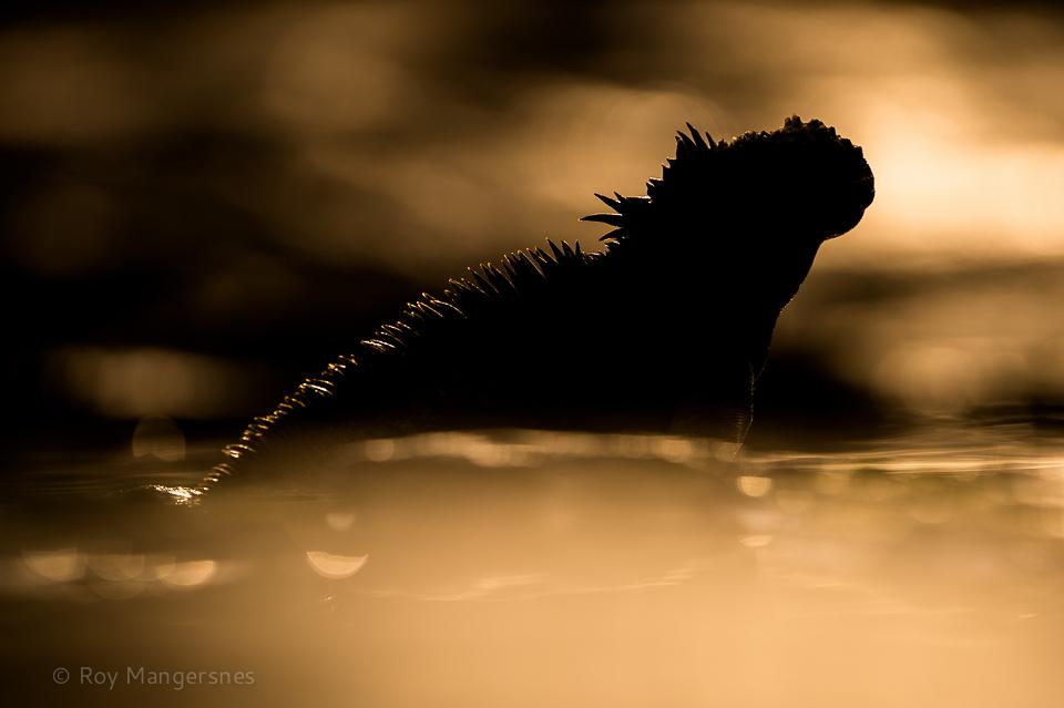Marine iguana at sunrise - D4, 400mm, 1/3200 sec, f/4 @ ISO 200
