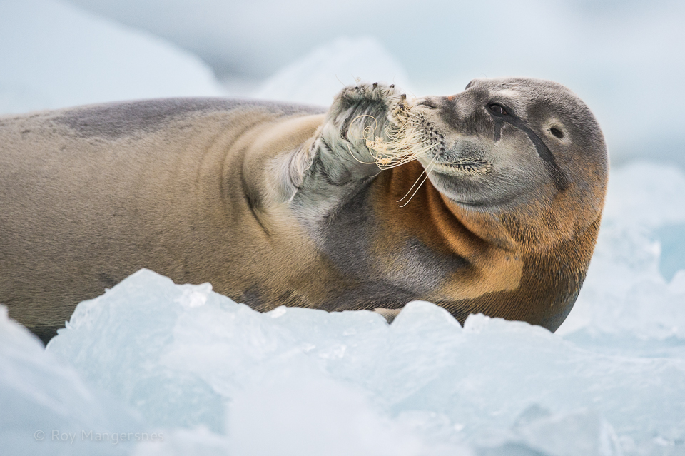 Bearded seal on the ice - D4, 800mm, 1/1250 sec, f/5,6 @ ISO 2500