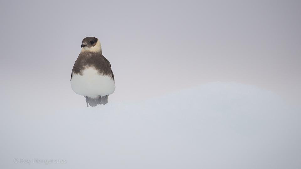 Arctic skua on ice - D4, 800mm, 1/1250 sec, f/5,6 @ ISO 1000