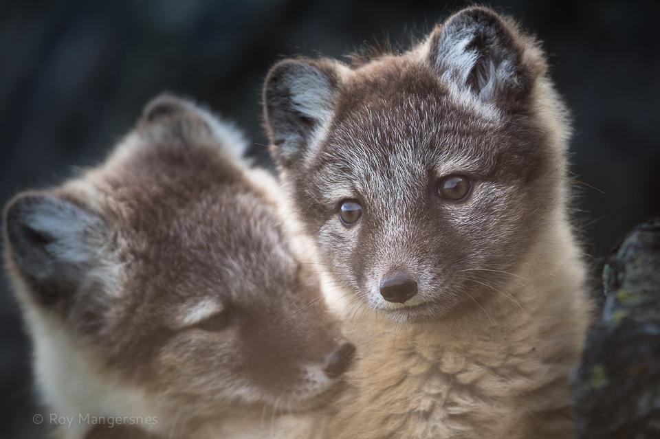 Arctic fox cubs - D4, 800mm, 1/1250 sec, f/6,3 @ ISO 1250