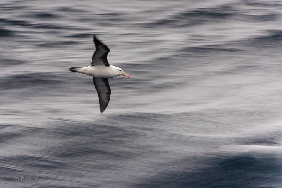 Black-browed albatross surfing the stern waves - D810, 70-200mm + TC14 III, 1/30 sec, f/10 @ ISO 200