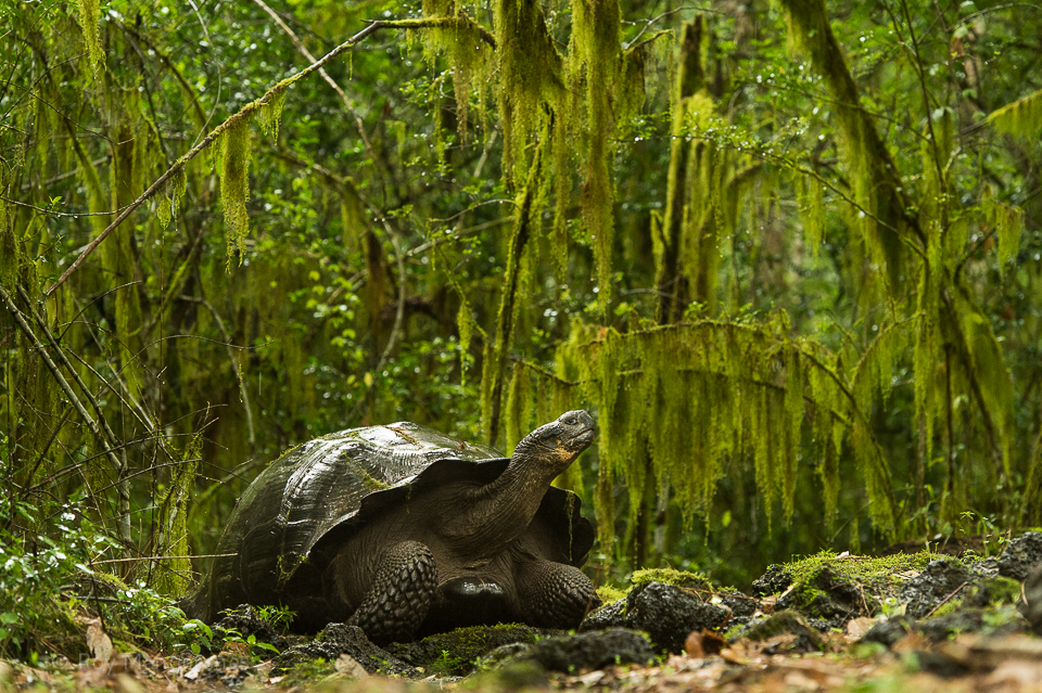 Galapagos Giant tortoise in the forest - D4, 70-200mm, 1/125 sec, f/5 @ ISO 5000