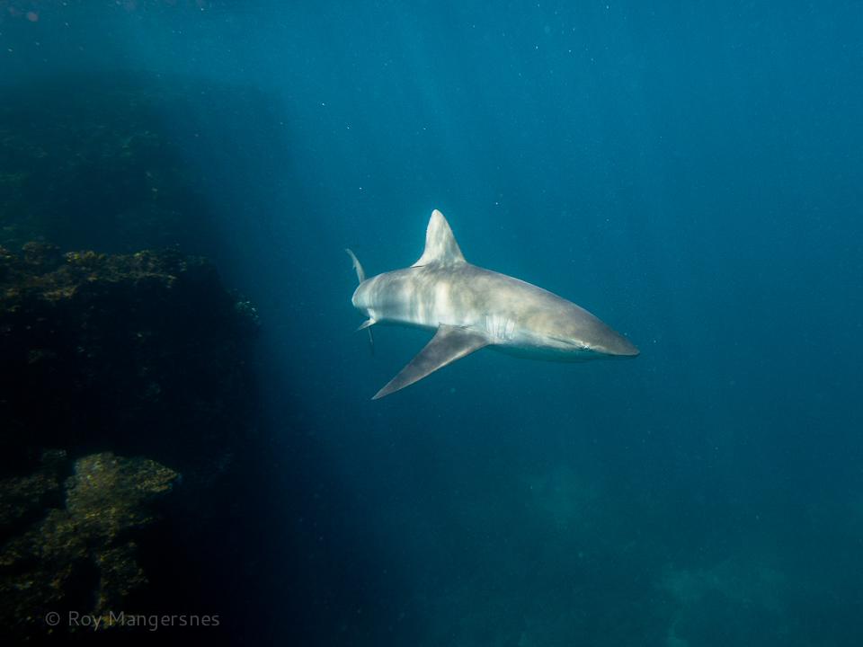 Galapagos shark - D800, 16-35mm, 1/400 sec, f/8 @ ISO 800