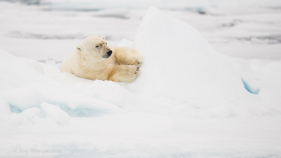 Our first Polar bear - D4, 800mm, 1/2000 sec, f/7,1 @ ISO 640