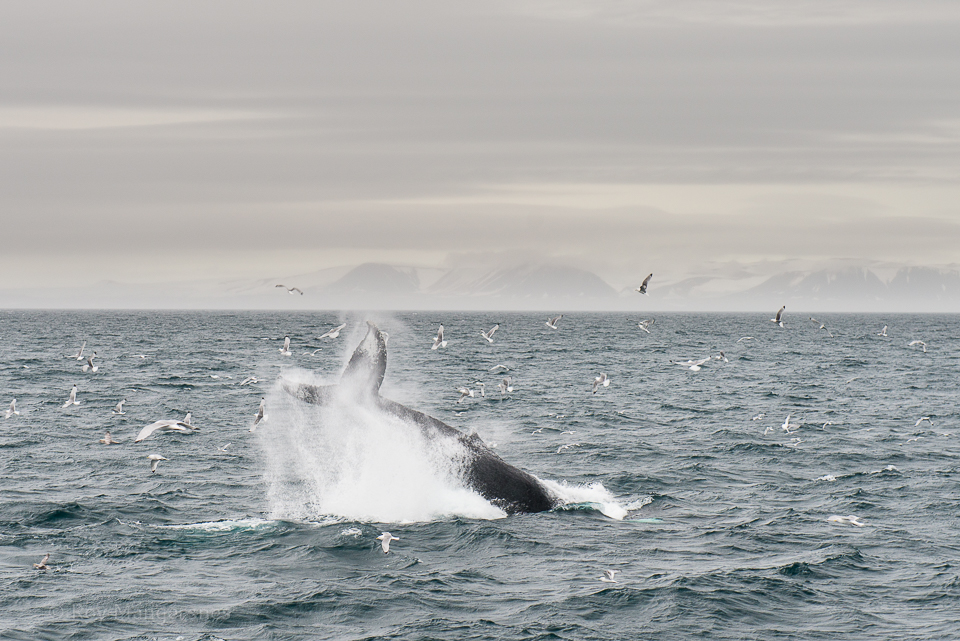 Humpback whale showing off - D800, 24-70mm, 1/160 sec, f/5 @ ISO 400