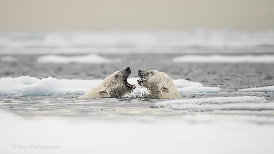 Polar bears flirting in the pack ice - D4, 800mm, 1/2500 sec, f/7,1 @ ISO640