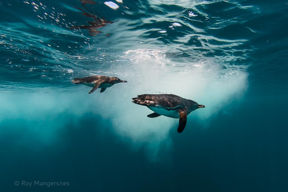 "Galapagos penguins ""flying"" under water - D800, 16mm fisheye, 1/320 sec, f/8 @ ISO 110"