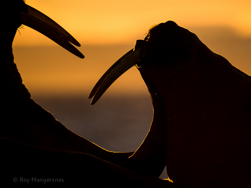 Brawling Walruses at sunrise on Moffen - D4, 800mm, 1/4000 sec, f/6,3 @ ISO 640