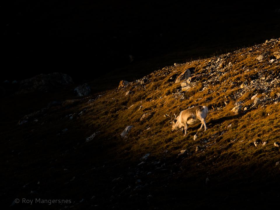 Reindeer at Alkehornet - D4, 300mm, 1/1250 sec, f/5 @ ISO 500