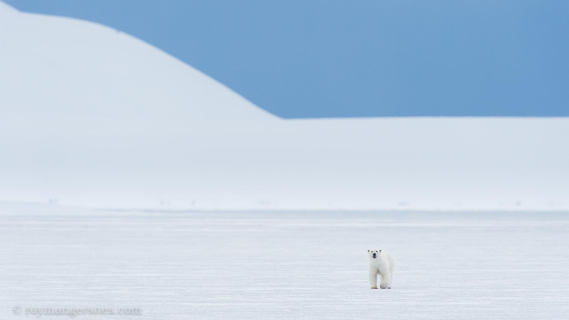 Polar bear Svalbard_winter1