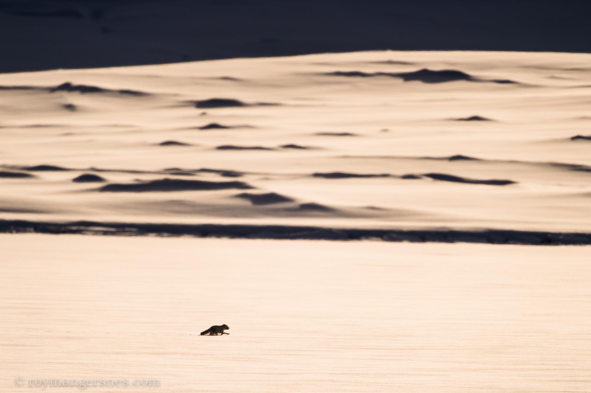 Svalbard Arctic fox_winter