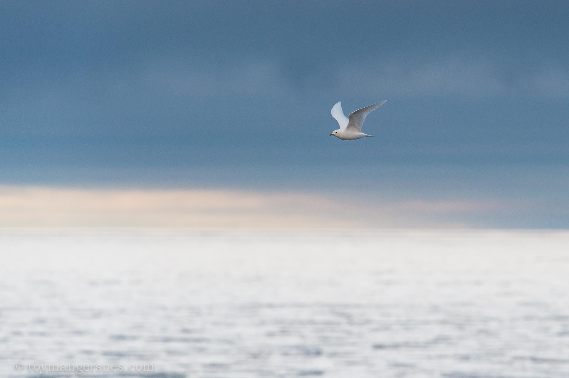 Svalbard Ivory gull_Winter1
