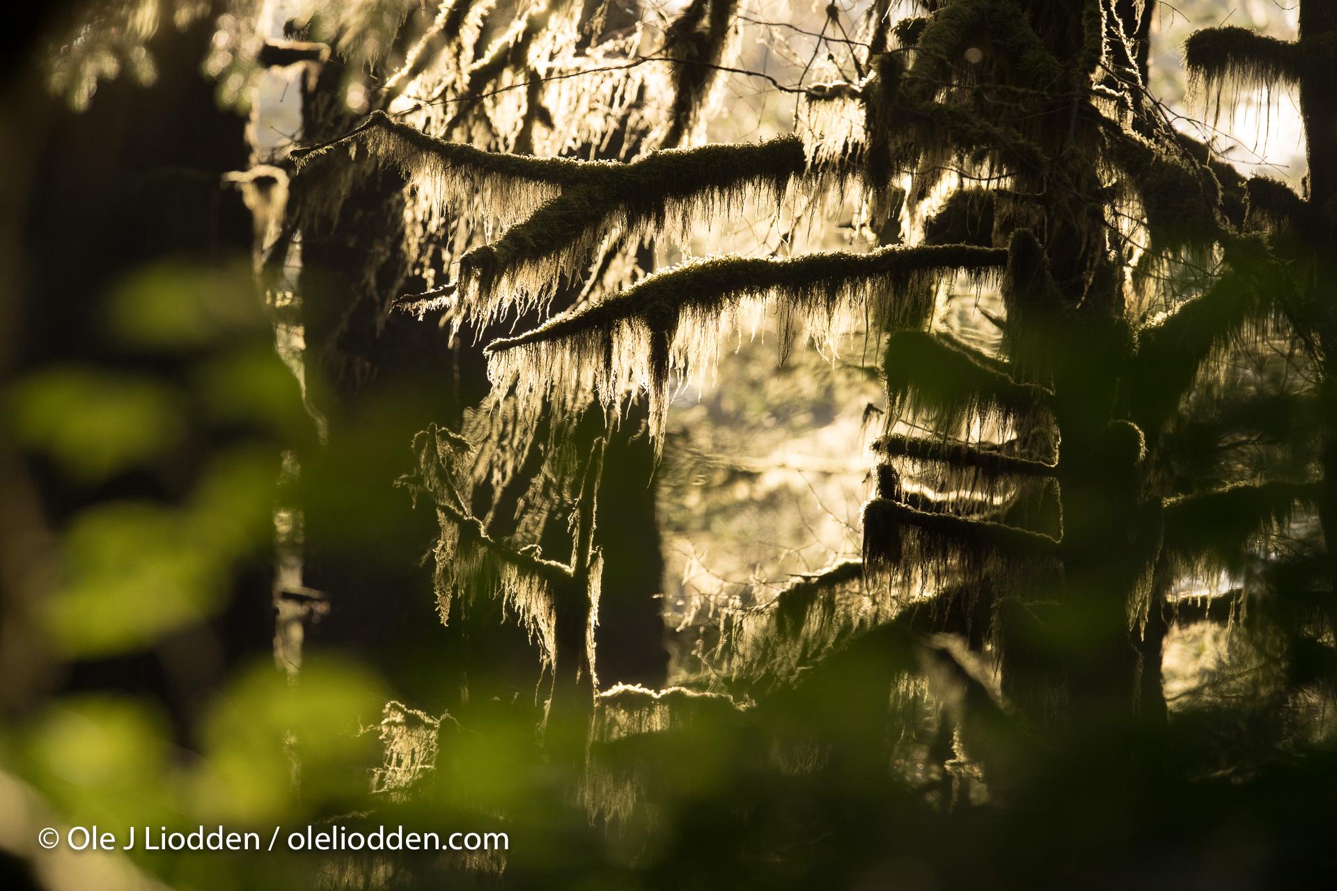 Kodiak forest