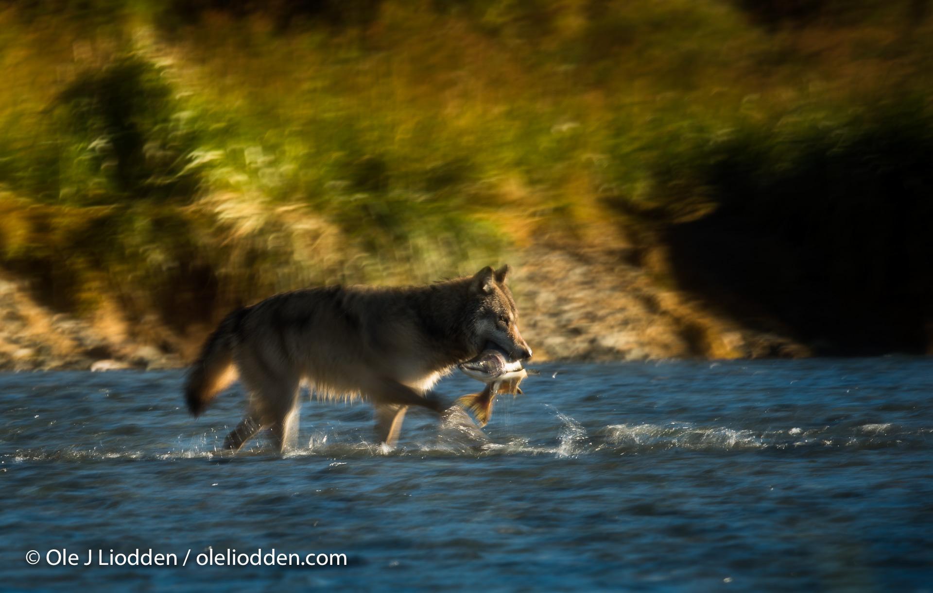 Fishing wolf