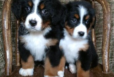 litter of Bernese Mountain Dog puppies available