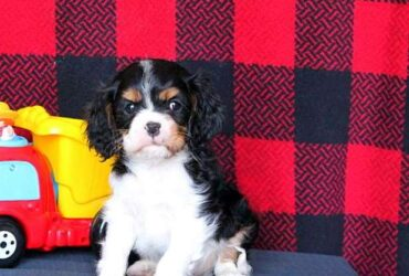 Stunning Ruby Cavalier King Charles Spaniel Puppys