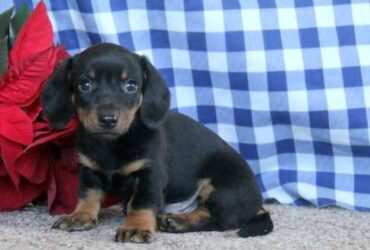Gorgeous little miniature dachshund Puppies