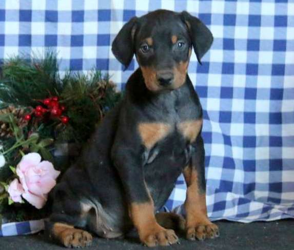 Stunning Doberman Puppies All Reserved Now