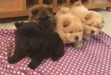 Chow Chow Puppies for sale looking for new homes