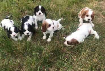 Adorable Cavalier King Charles Spaniel for sale