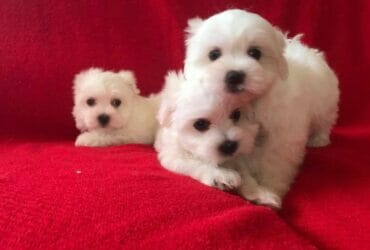 Lovely Maltese Puppies Available for re-homing