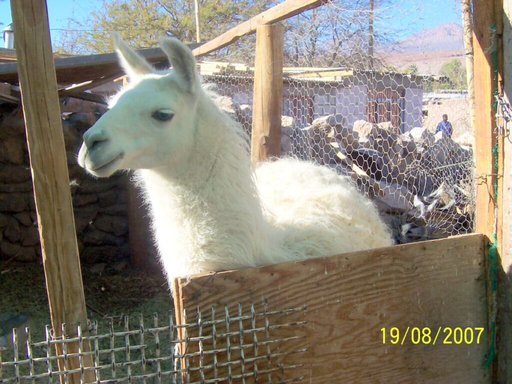 domestic Chilean llama | Spanish translation services for the tourism industry