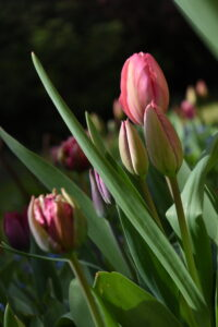 Tulips from Pili's garden | Professional creative English and French into Spanish translator specialised in marketing and educational texts
