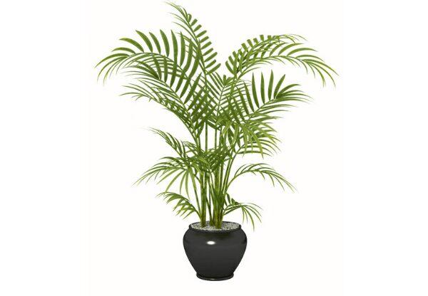 Areca Palm Health Benefits