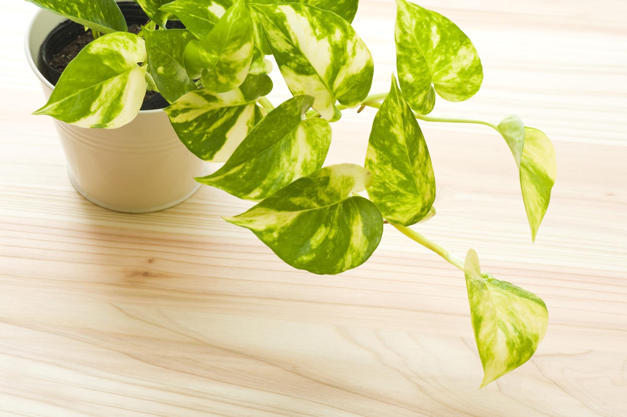 Pothos Plant ( Money Plant) health benefits