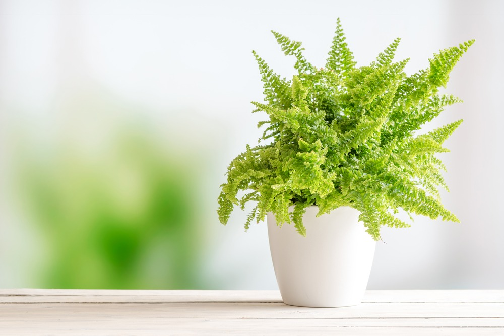 Types of ferns