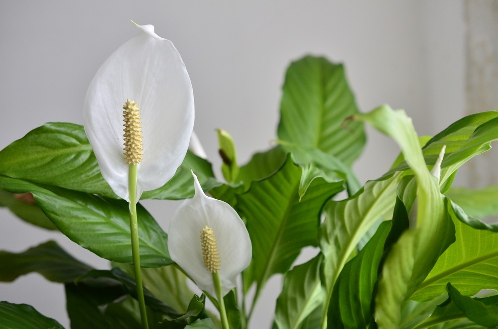 peace lily health benefits and air purification