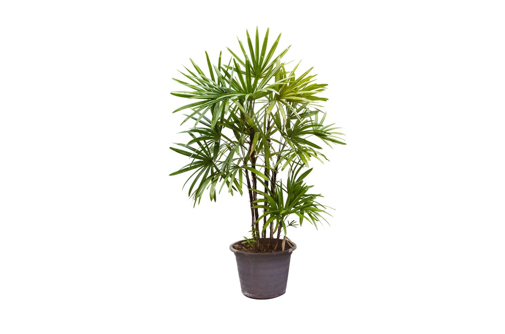 Lady palm indoor
