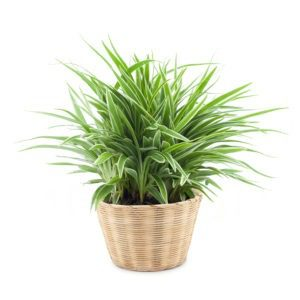 spider plant health benefits & air purification
