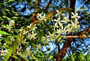 azadirachta indica health benefits
