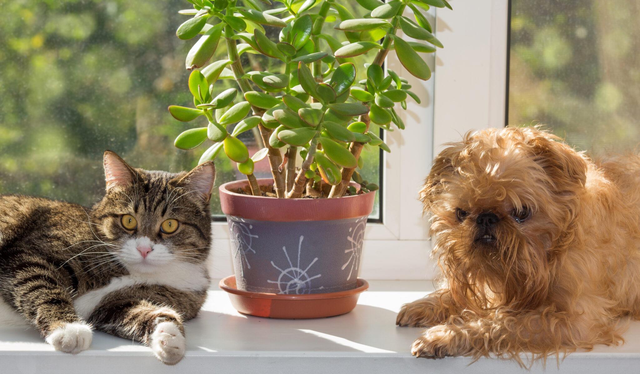 Indoor plant toxic to pets