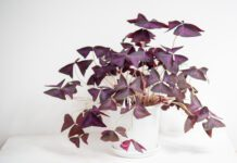 Oxalis triangularis health benefits