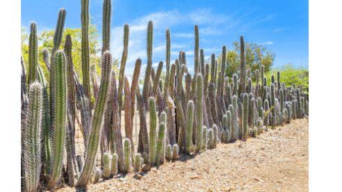 Hedge cactus